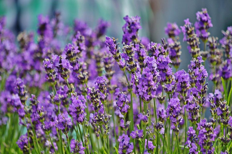 lavender-960_720